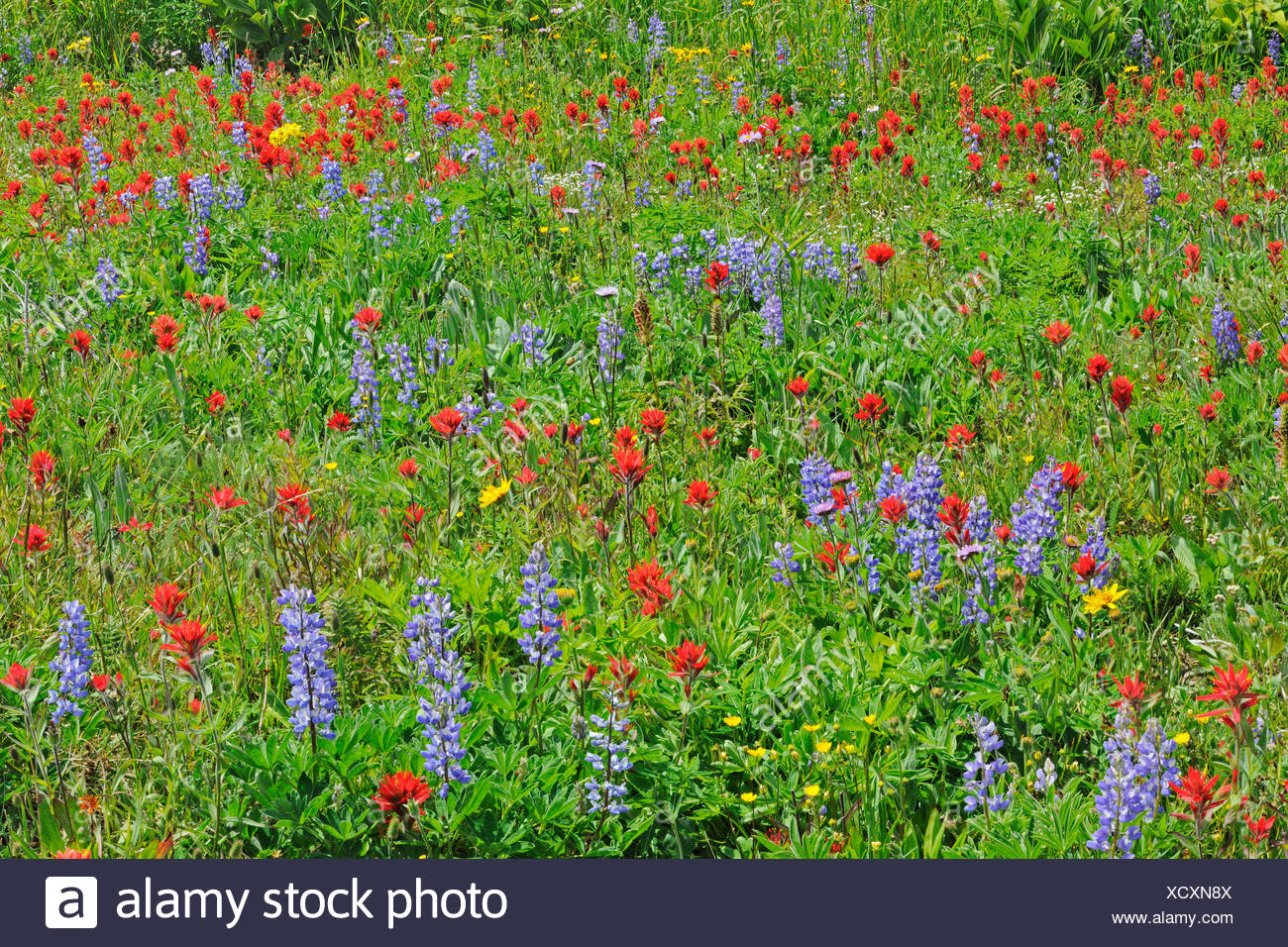 Wildflowers in the alpine zone at the summit of Sun Peaks (Lupines, paintbrush, composite), Near Kamloops, British Columbia, Canada - Stock Image