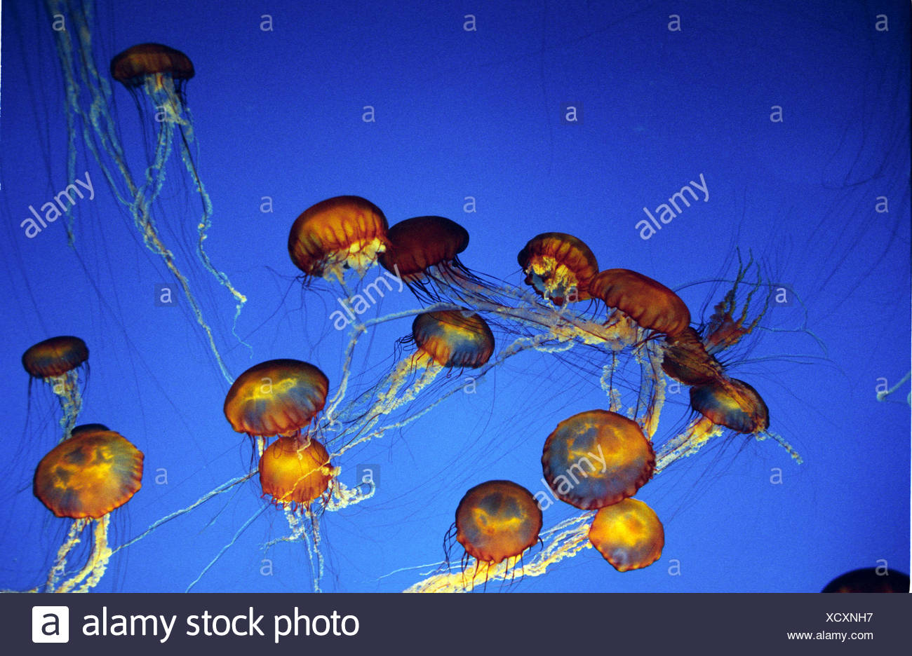 Purple-Stripped Jellyfish, pelagia noctiluca - Stock Image