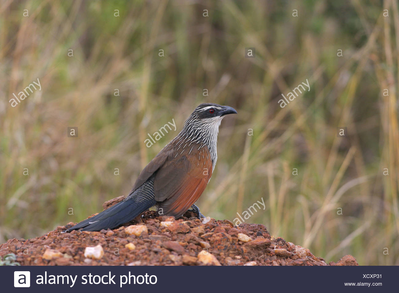 White-browed Coucal (Centropus supercillosus) adult, standing on soil mound, Masai Mara, Kenya - Stock Image