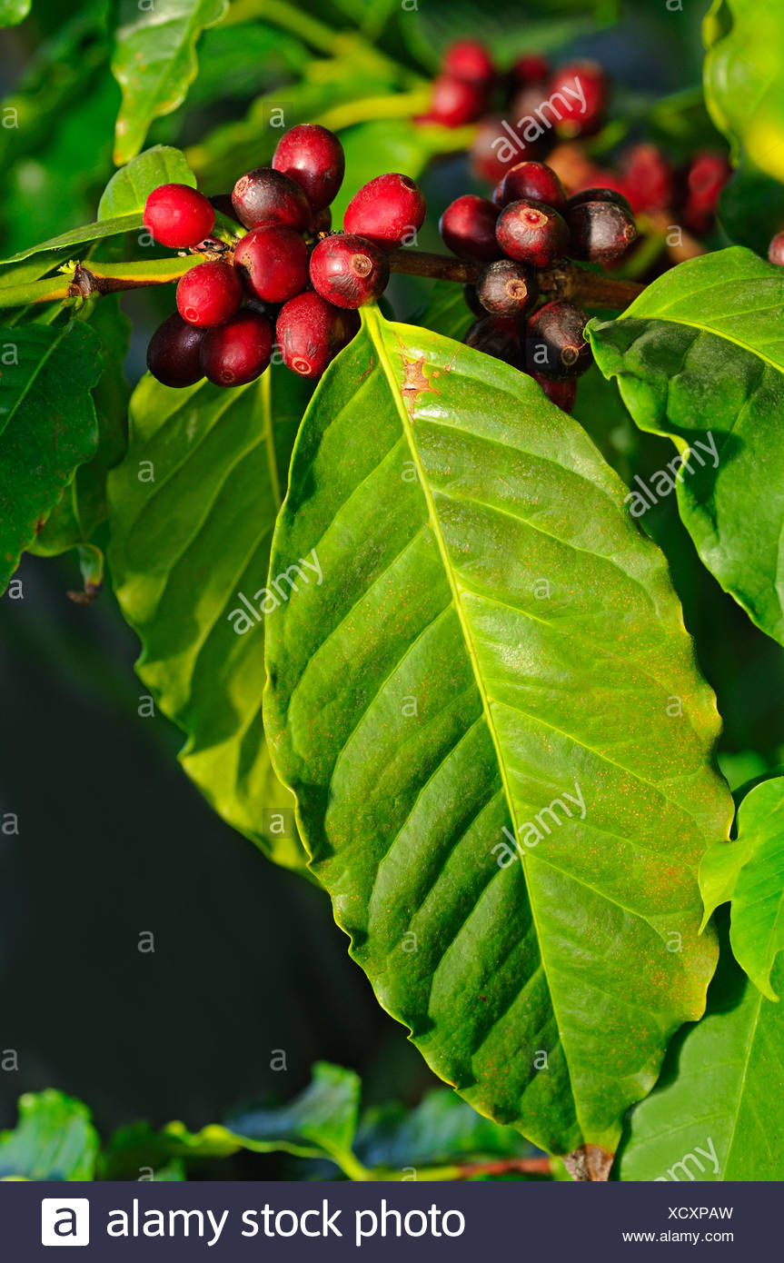 Branch of a Coffee plant (Coffea arabica) with ripe fruits - Stock Image