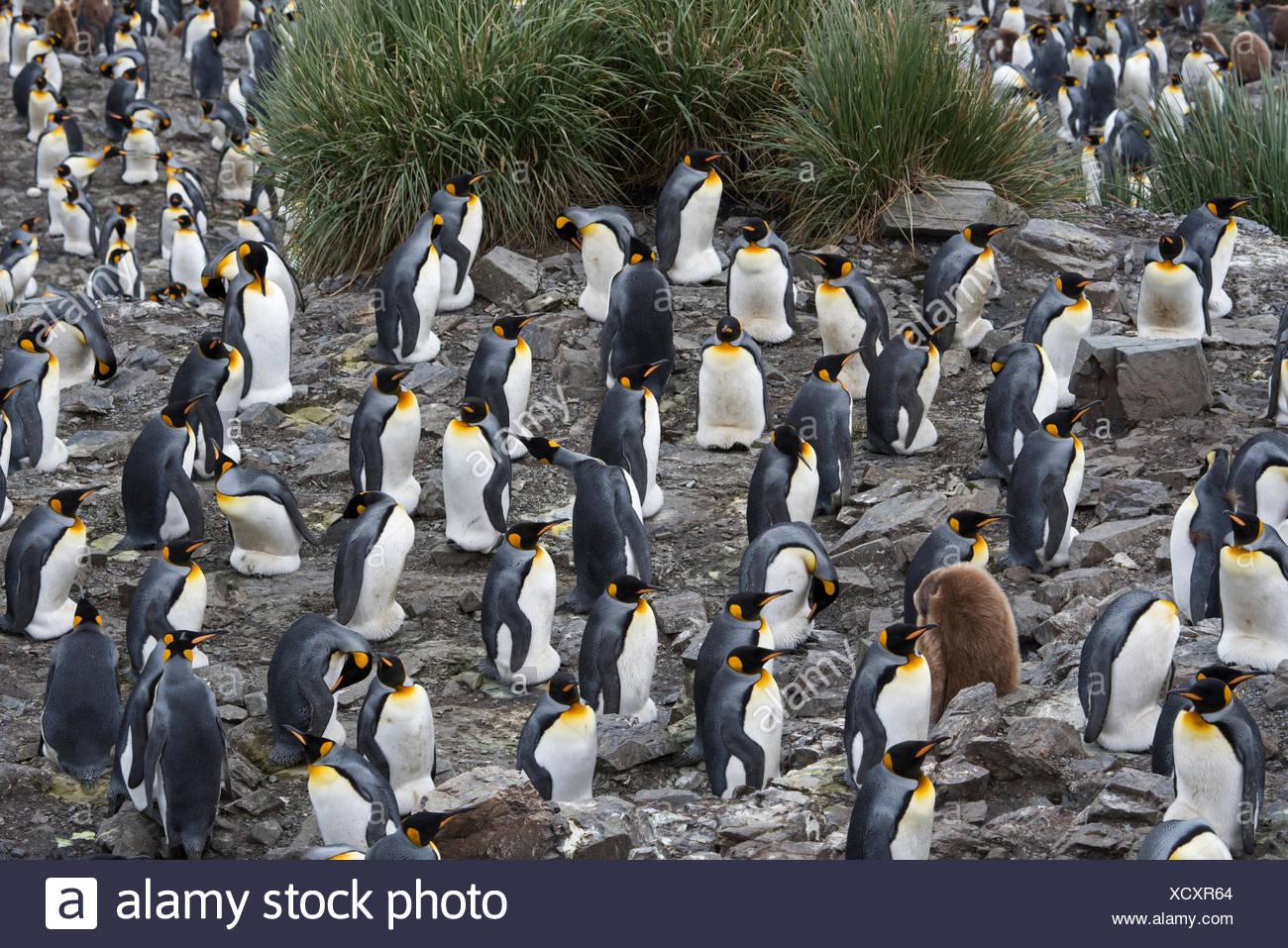 Looking down on the vast King Penguin (Aptenodytes patagonicus) colony at Salisbury Plain on South Georgia.  Estimated breeding - Stock Image