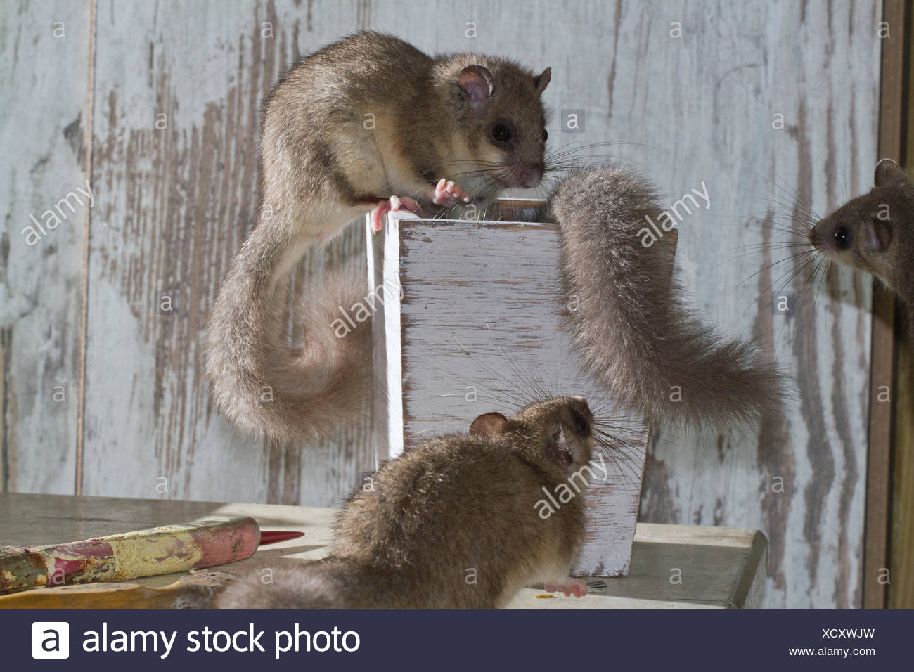 fat dormouse, edible dormouse (Glis glis) on table with paint brushes, Europe - Stock Image