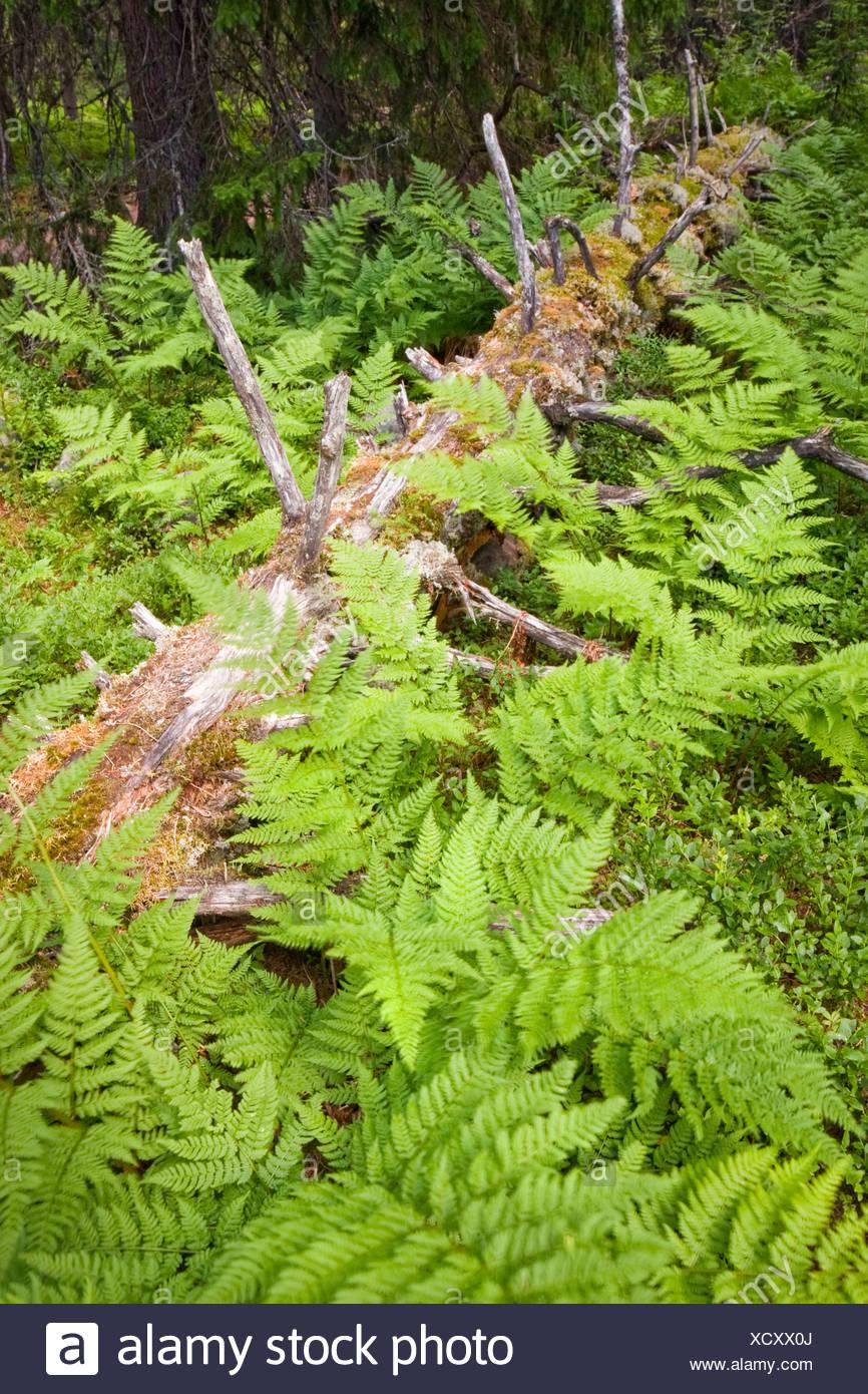 Ferns, Fulufjallet National Park, Dalarna county, Sweden, Scandinavia, Europe - Stock Image