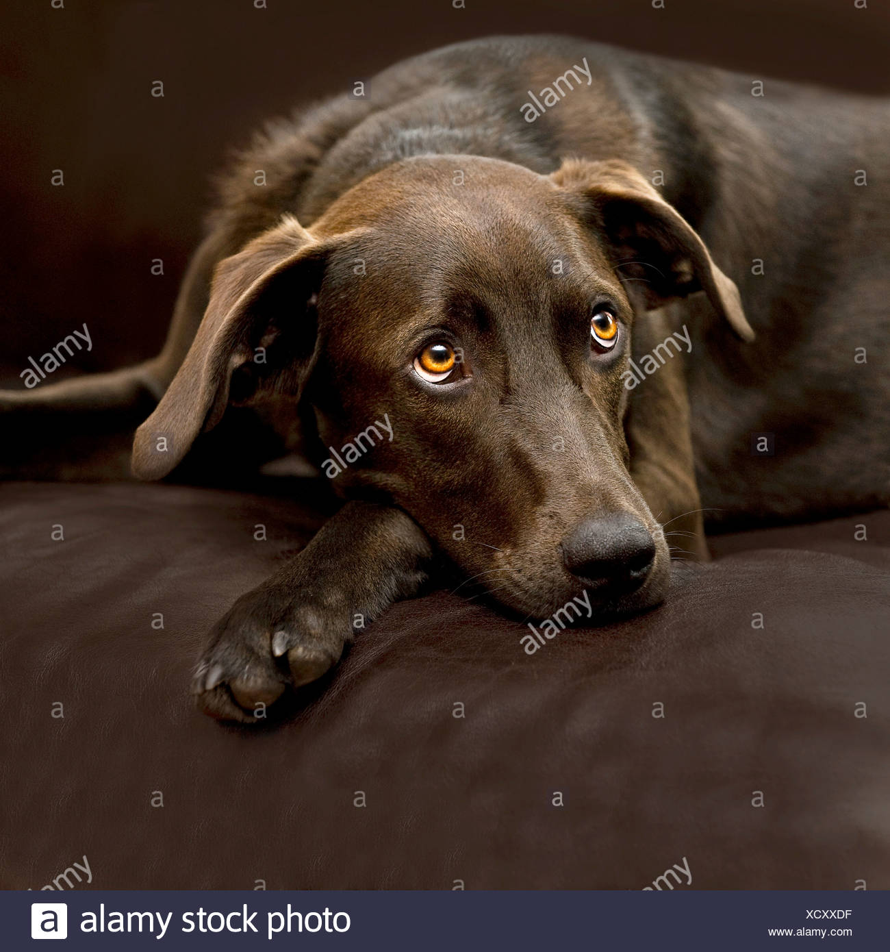 half breed dog (German Shorthaired Pointer/Harz Fox dog) - lying on couch - Stock Image