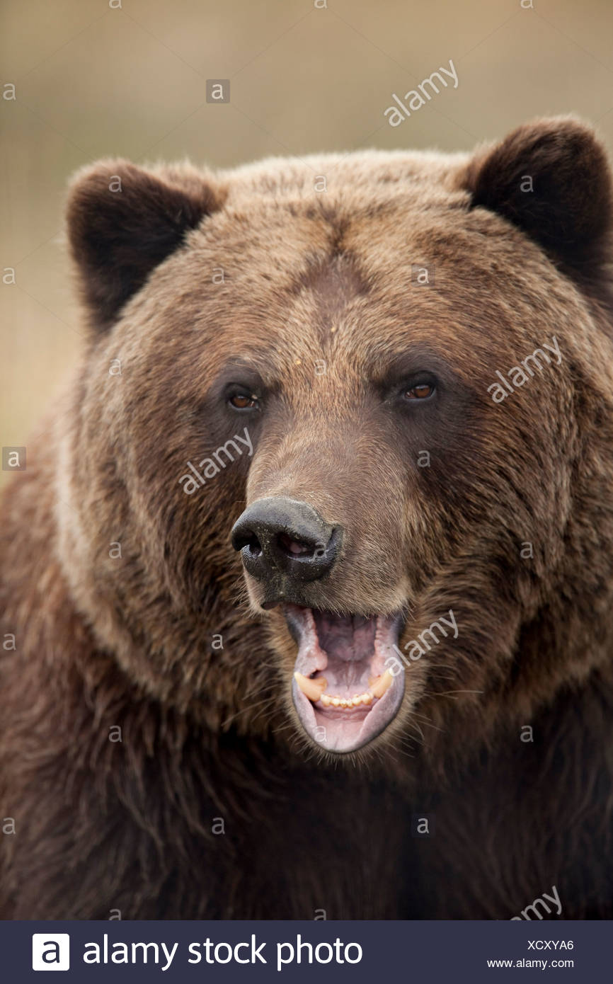 CAPTIVE: Close up of a snarling grizzly bear at the Alaska Wildlife Conservation Center, Alaska Stock Photo