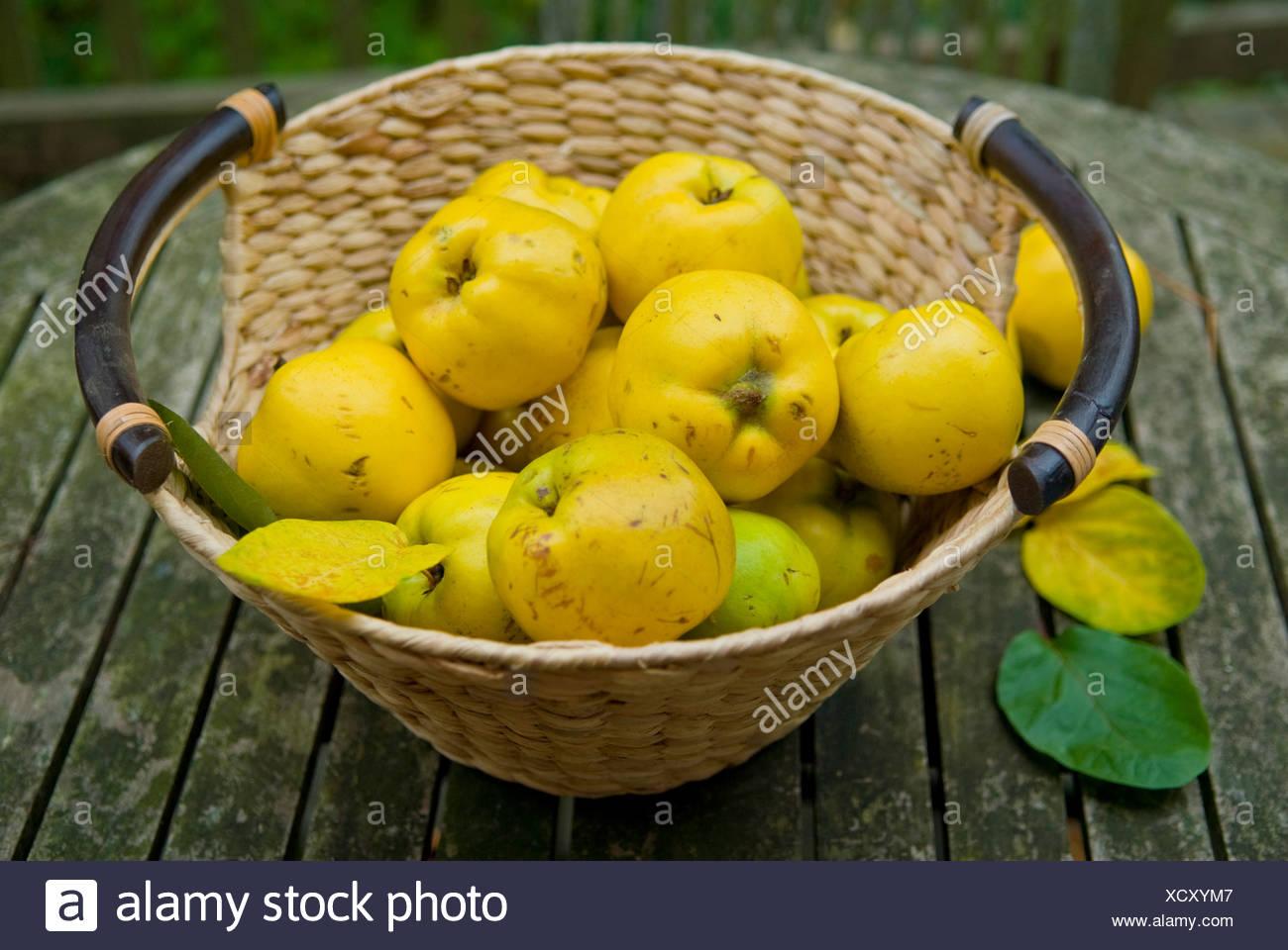 Basket with freshly harvested quinces (Cydonia oblonga) Stock Photo