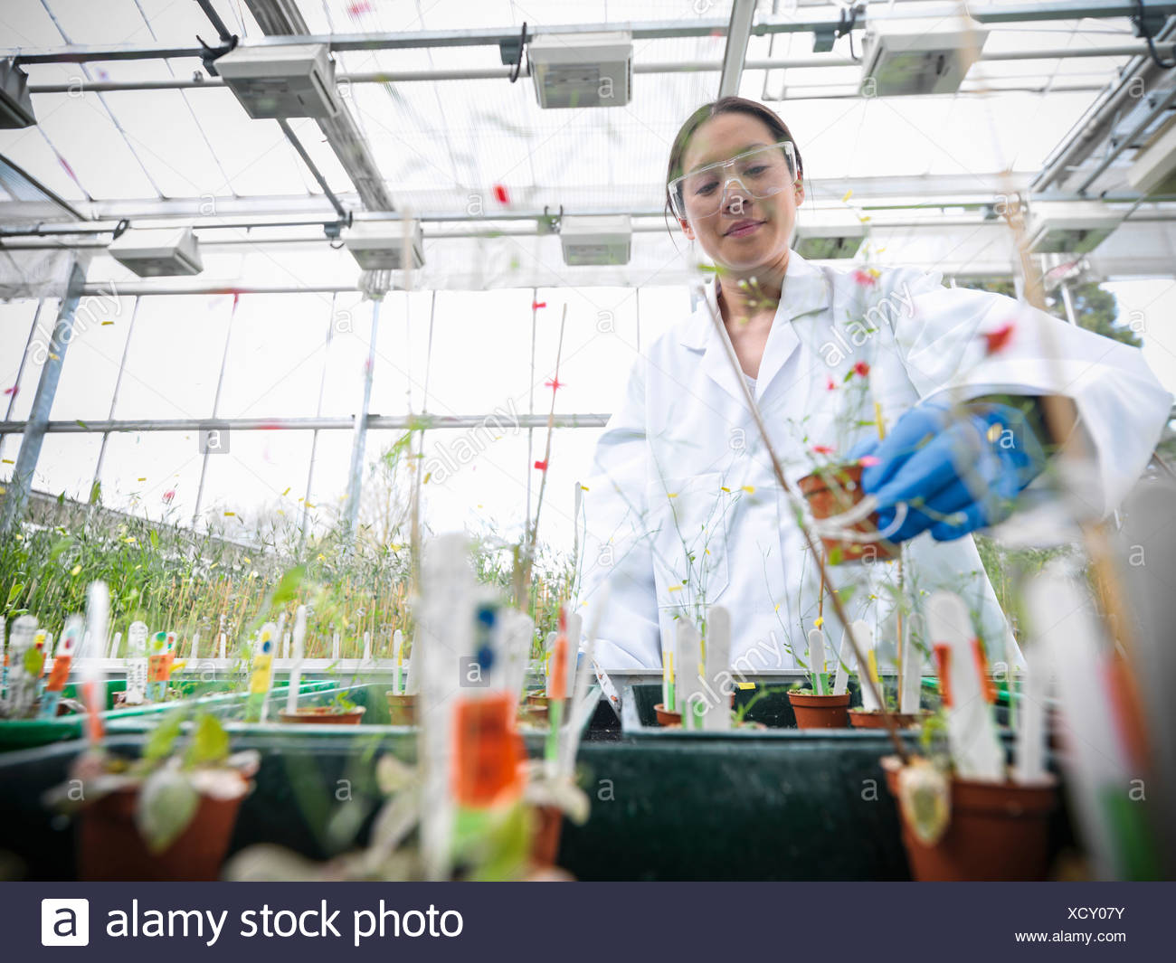 Scientist working with potted plants - Stock Image