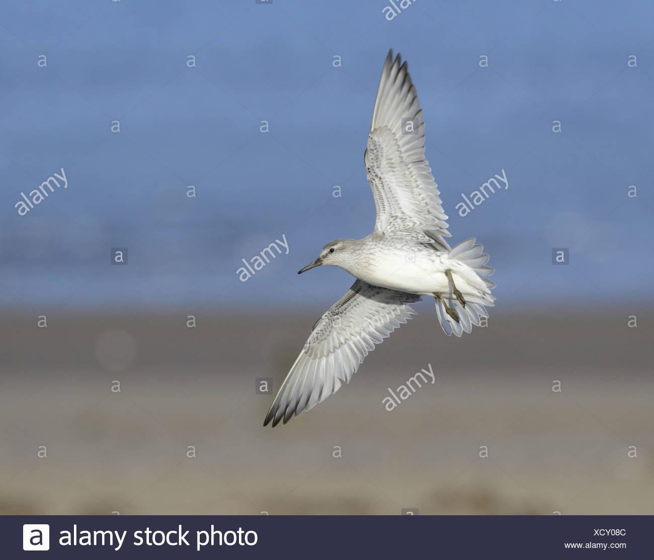 Knot Calidris canutus in flight - Stock Image