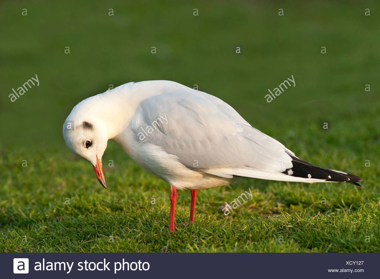 Black Headed Gull Chroicocephalus ridibundus Lincolnshire UK - Stock Image