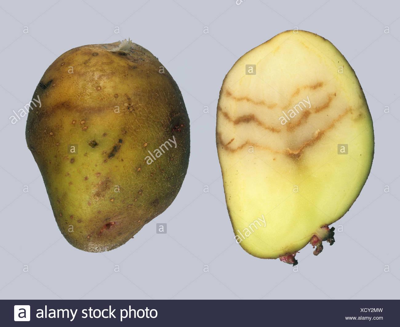 Spraing symptom of potato mop top virus PMTV in potato tuber - Stock Image