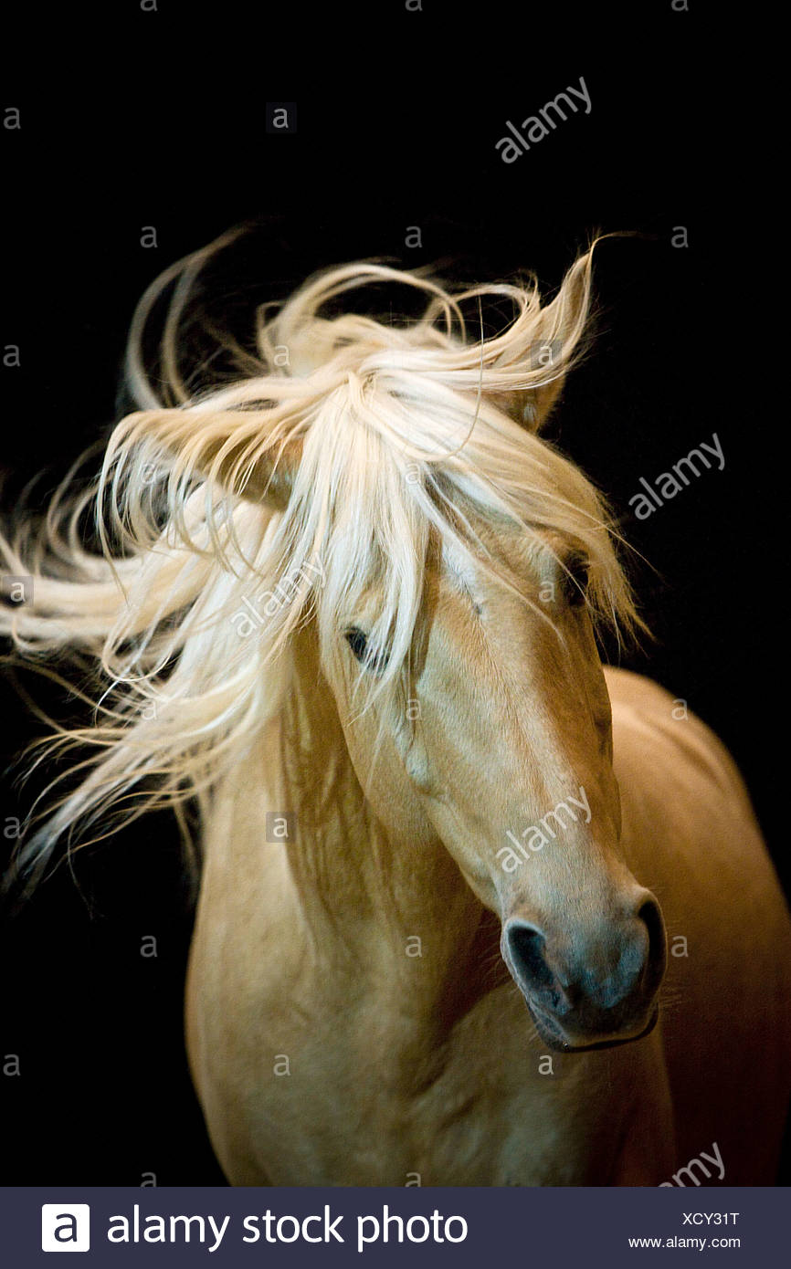 Iberian horse - portrait in front of black background - Stock Image