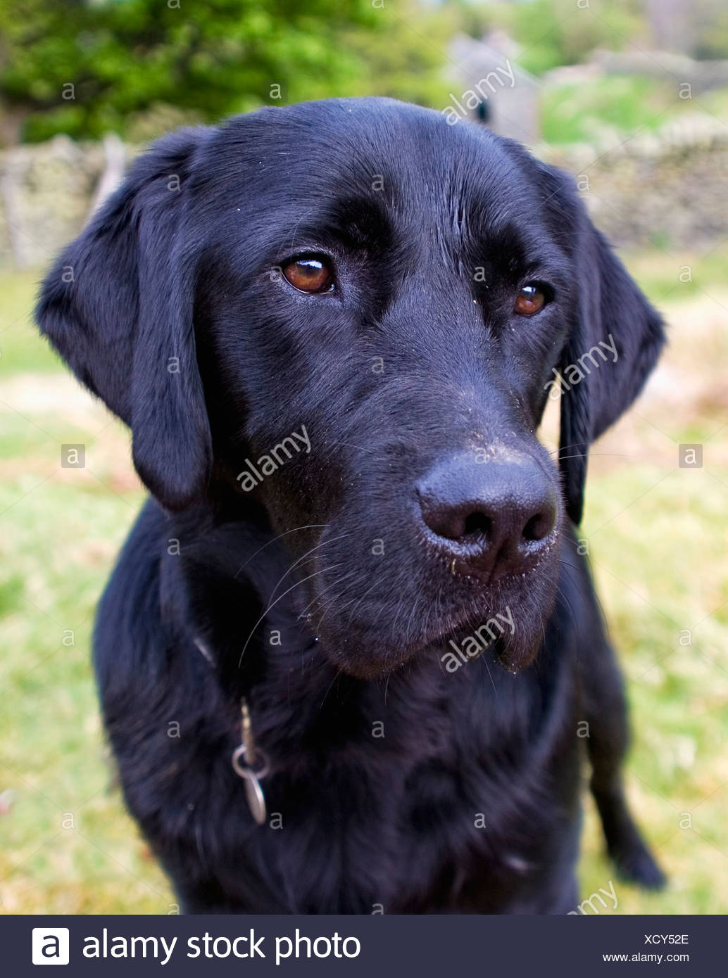 Black Labrador; Lake District Cumbria England - Stock Image