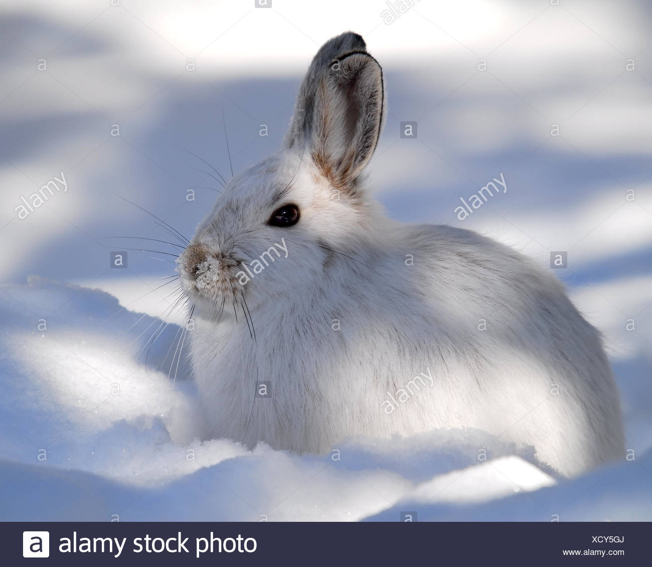 hare fields bunny bunnies fluffy park winter mammal wild