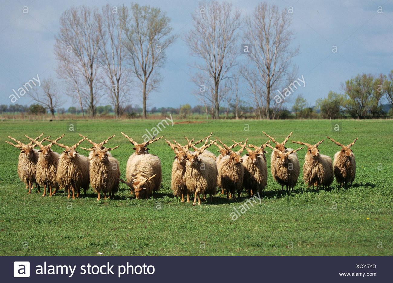 hungarian walachian sheep - herd on meadow - Stock Image