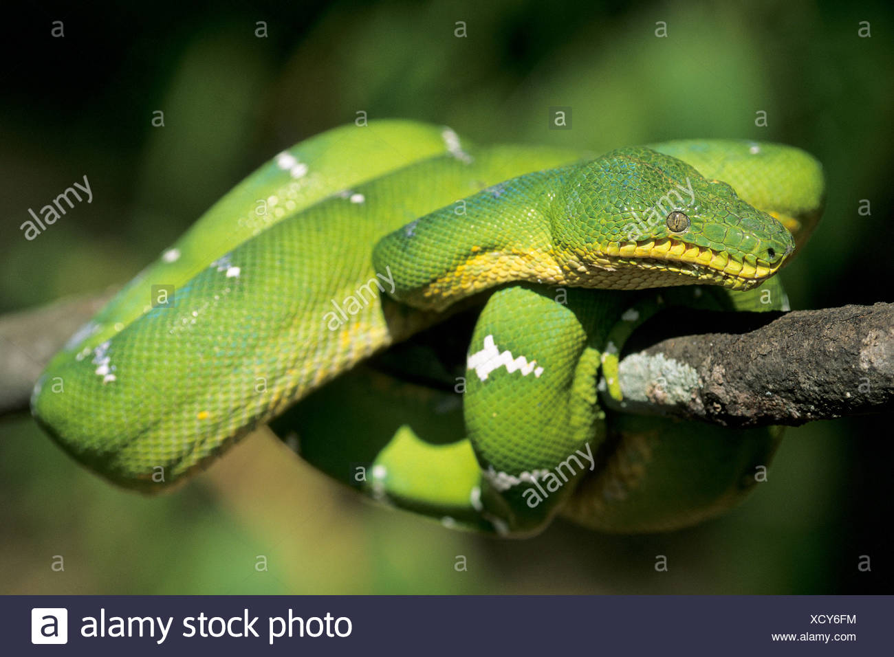 Basking emerald tree boa (Corallus canimus) from the rain forests of tropical Brazil - Stock Image