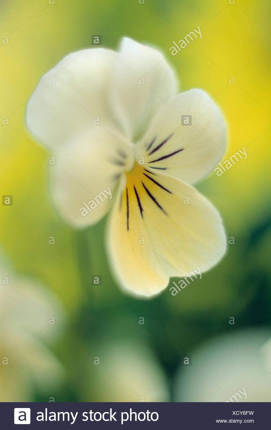 Viola, Viola wittrockiana Princess Series, Yellow, Viola, wittrockiana, Princess, Series - Stock Image