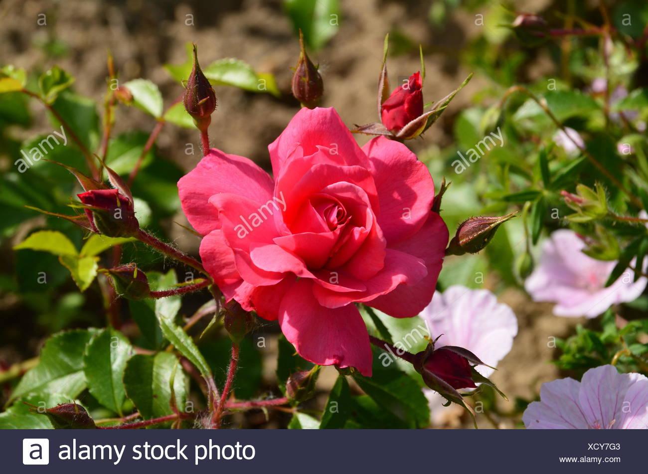 gorgeous rosenblüte Stock Photo