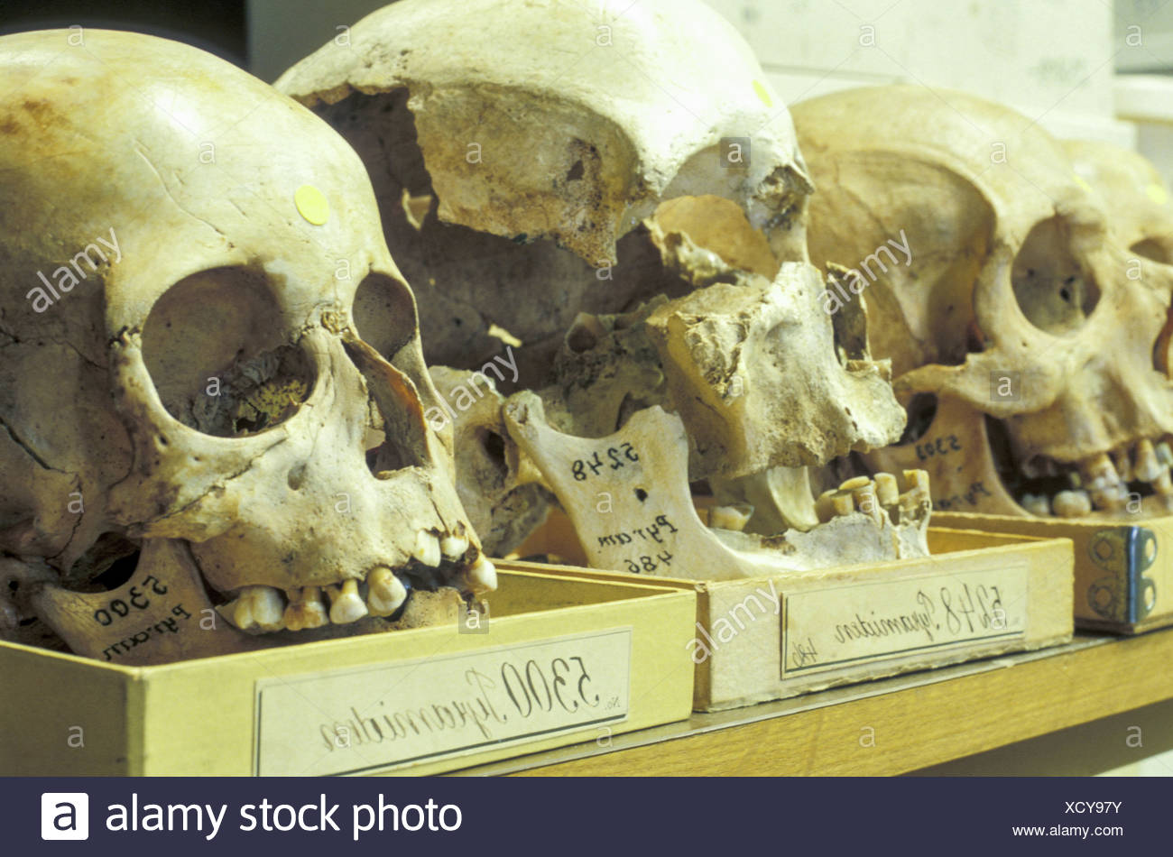 anthropology - Stock Image