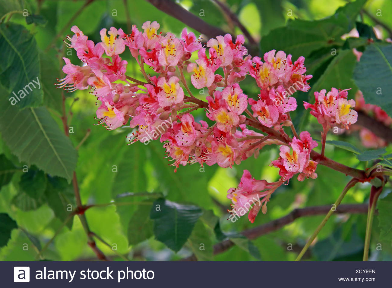 red horse chestnut aesculus pavia Stock Photo