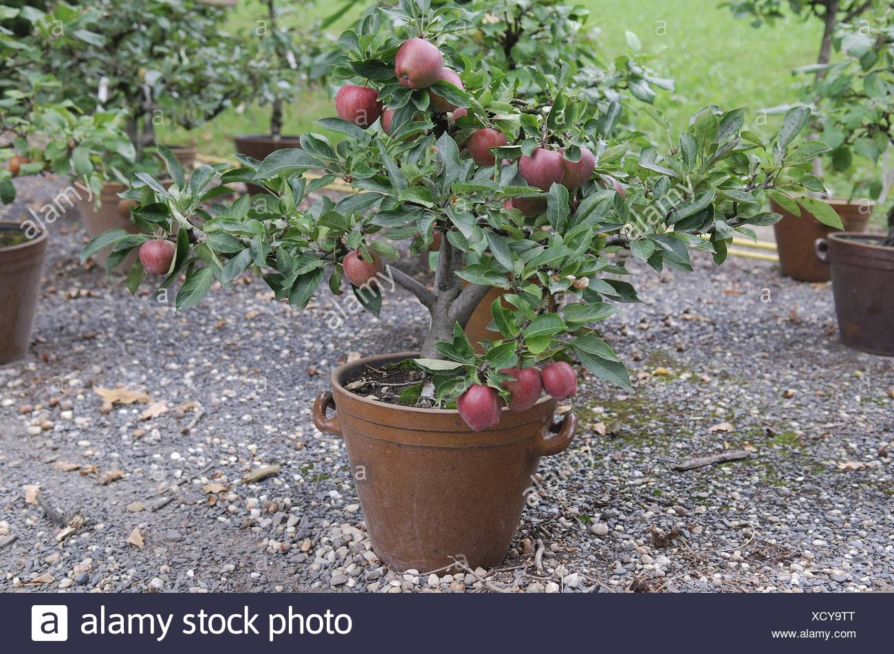 Apple Tree Pot High Resolution Stock Photography And Images Alamy