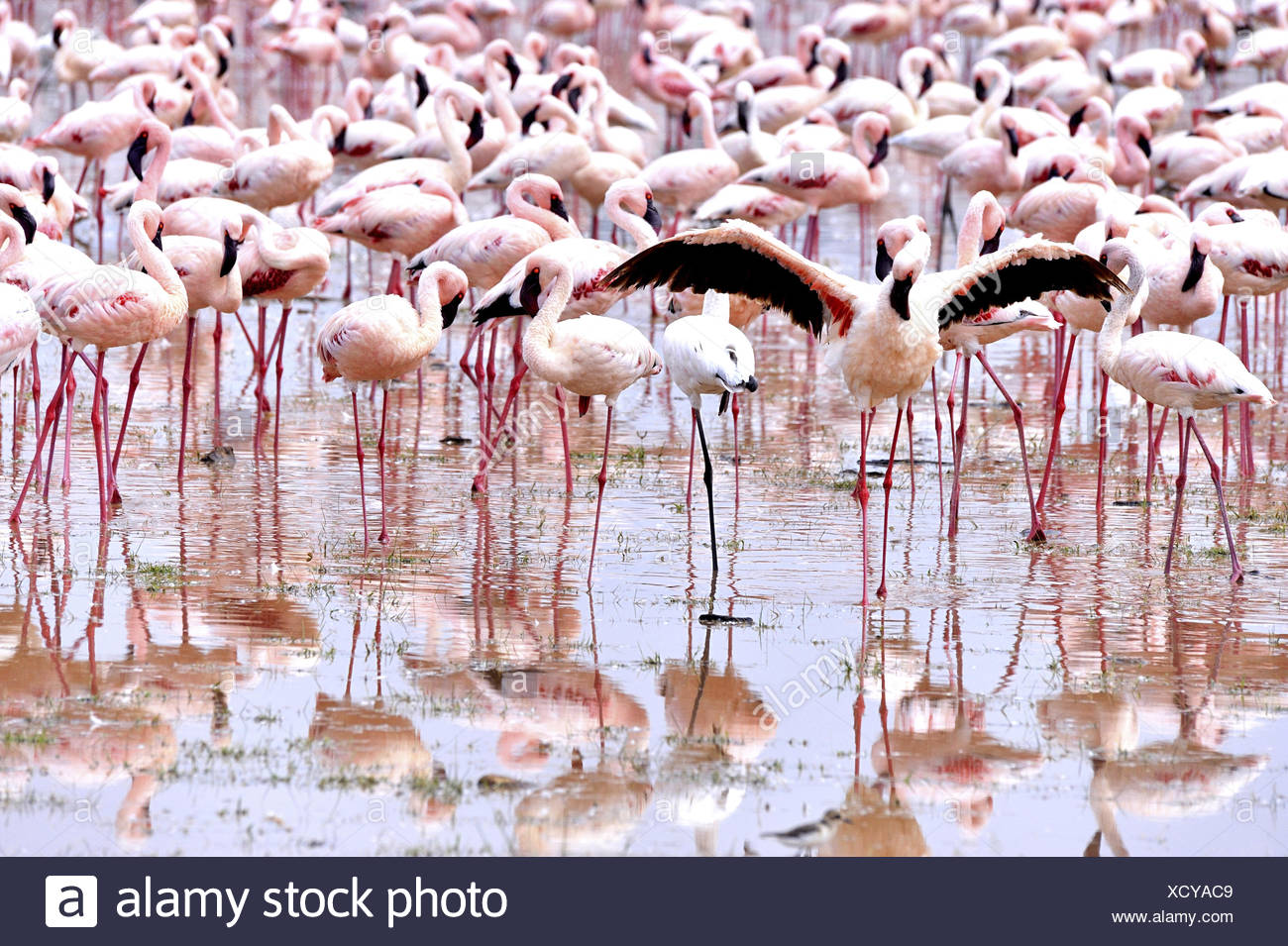 Lesser Flamingo cleaning its plumes - Stock Image