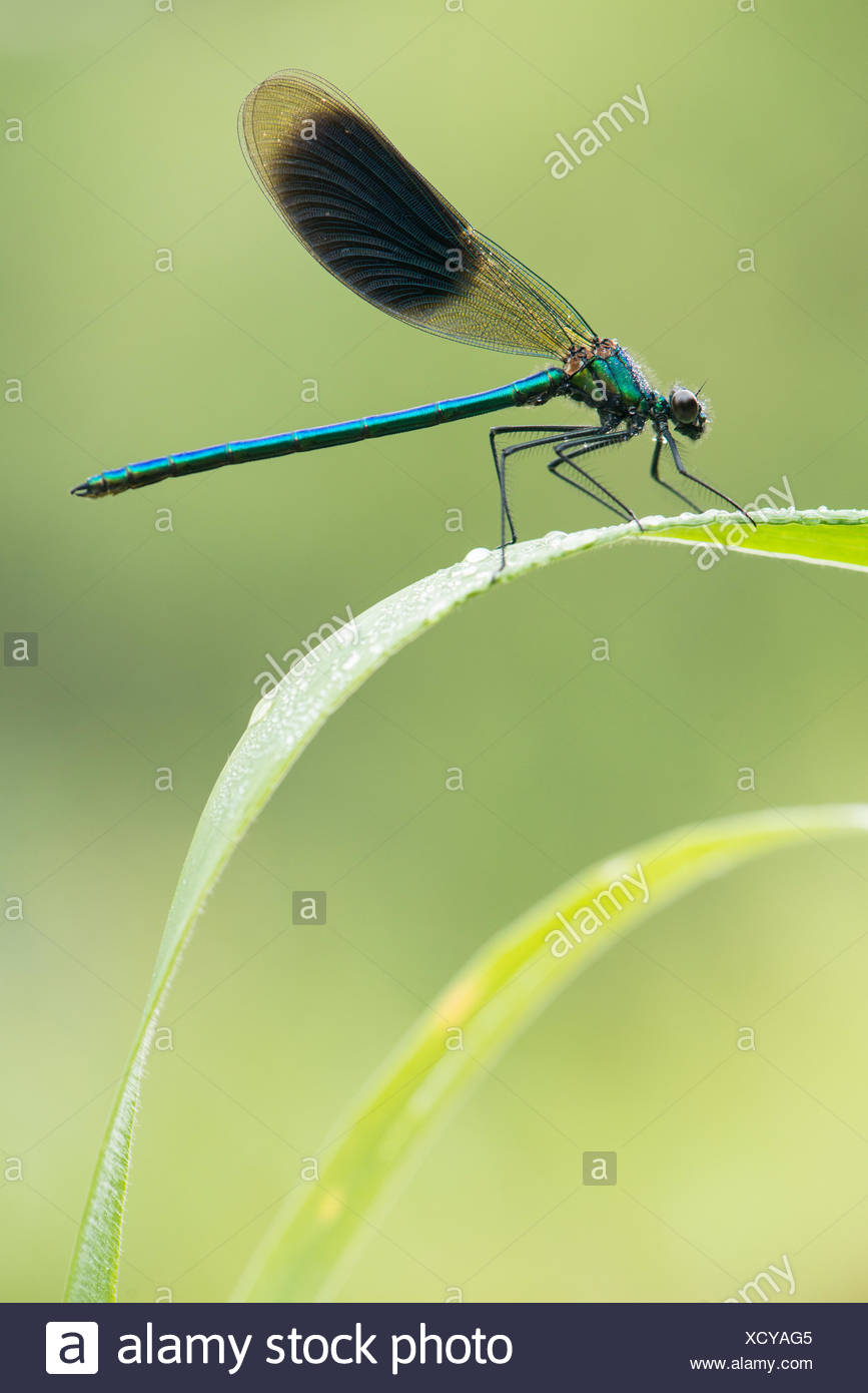 Banded demoiselle covered in dew Stock Photo