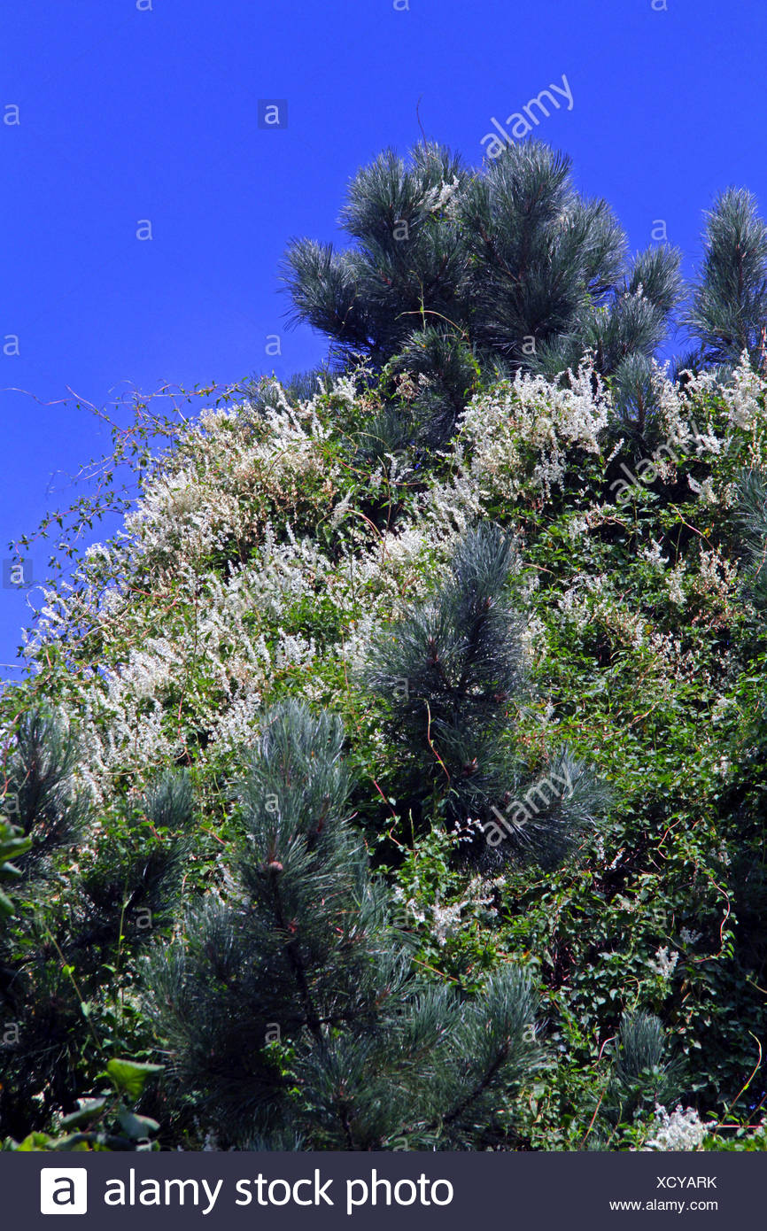 Fallopia baldschuanica (Fallopia baldschuanica, Fallopia aubertii, Polygonum baldschuanicum, Polygonum aubertii), blooming in a pine, Germany - Stock Image