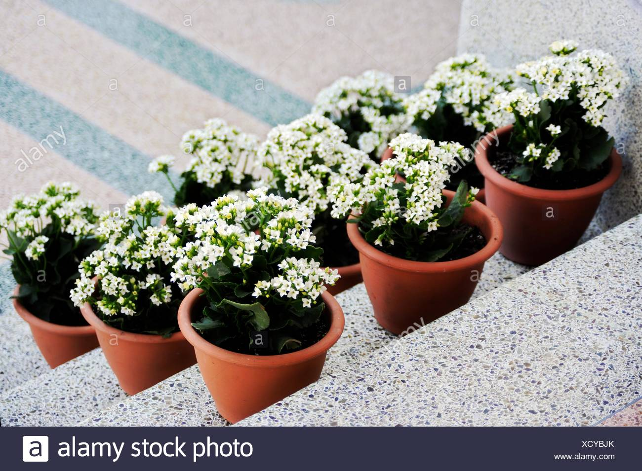Three rows of white flowered plants on terrazo steps stock photo three rows of white flowered plants on terrazo steps mightylinksfo