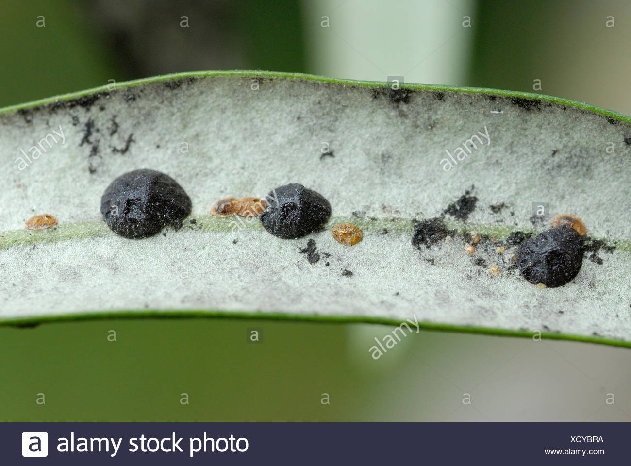 Females and larvae of the Olive Black Scale - Corsica - Stock Image