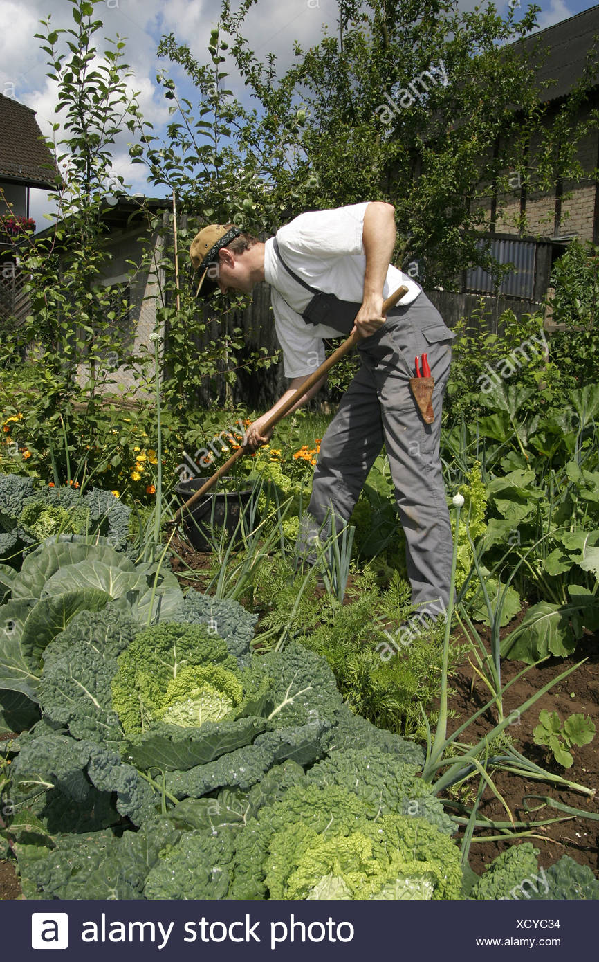 Gardener works in an ecological country garden, growing of vegetables in the own garden - Stock Image