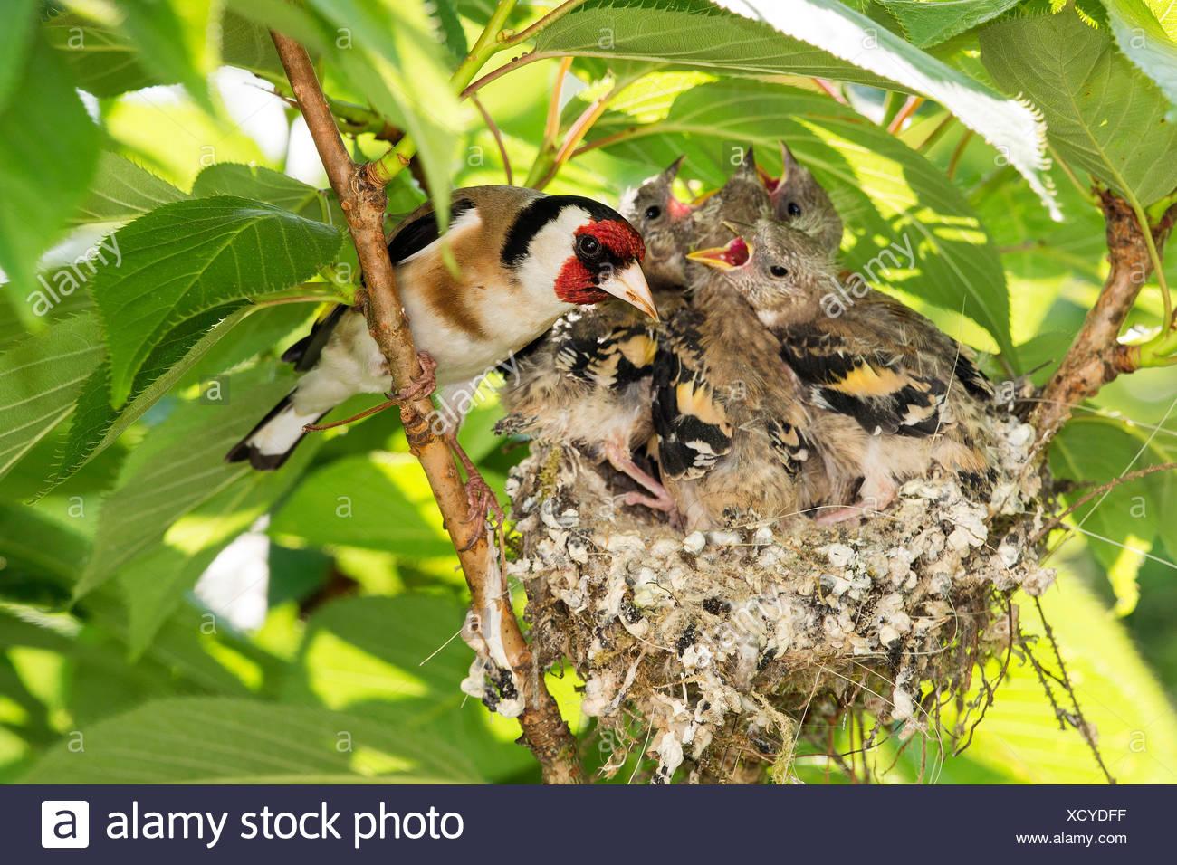 Stieglitz, Distelfink (Carduelis carduelis), am Nest mit fast flueggen Jungen, Deutschland, NRW | Eurasian goldfinch (Carduelis  - Stock Image