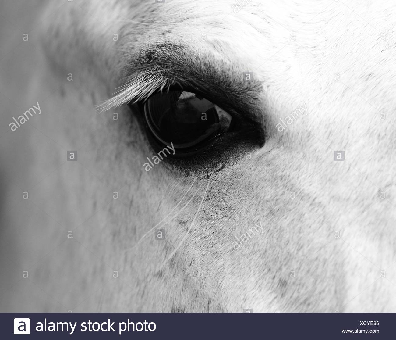 Detail of white horse head with long eye-lashes - Stock Image
