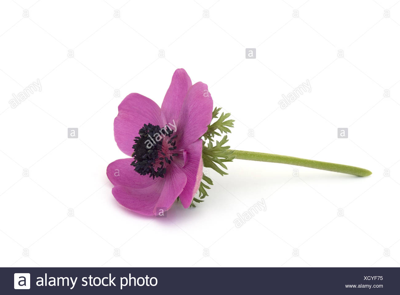 Anemone flower - Stock Image