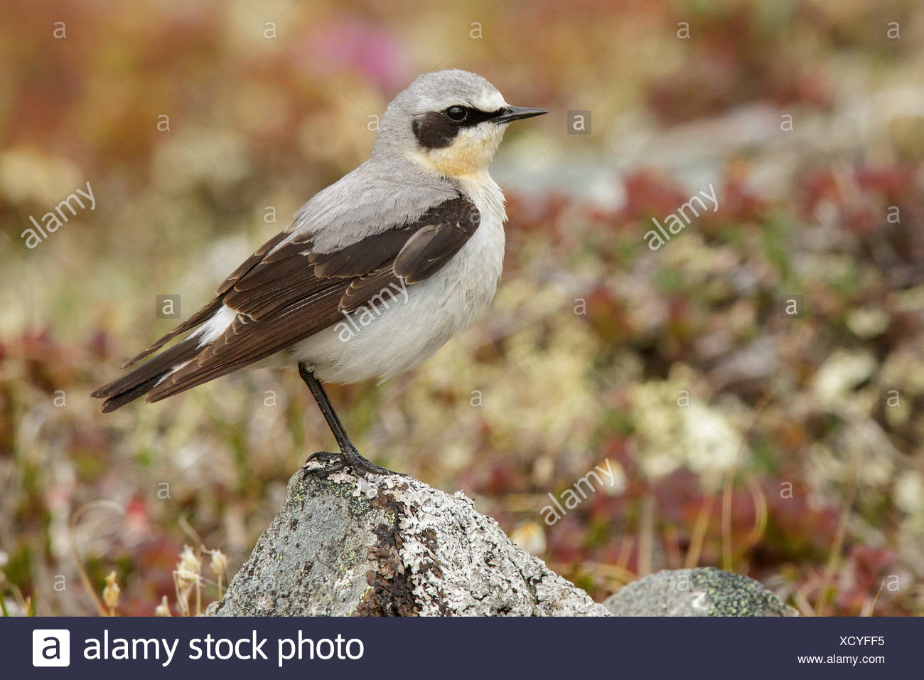 Northern Wheatear (Oenanthe oenanthe) perched on the tundra in Nome, Alaska. - Stock Image