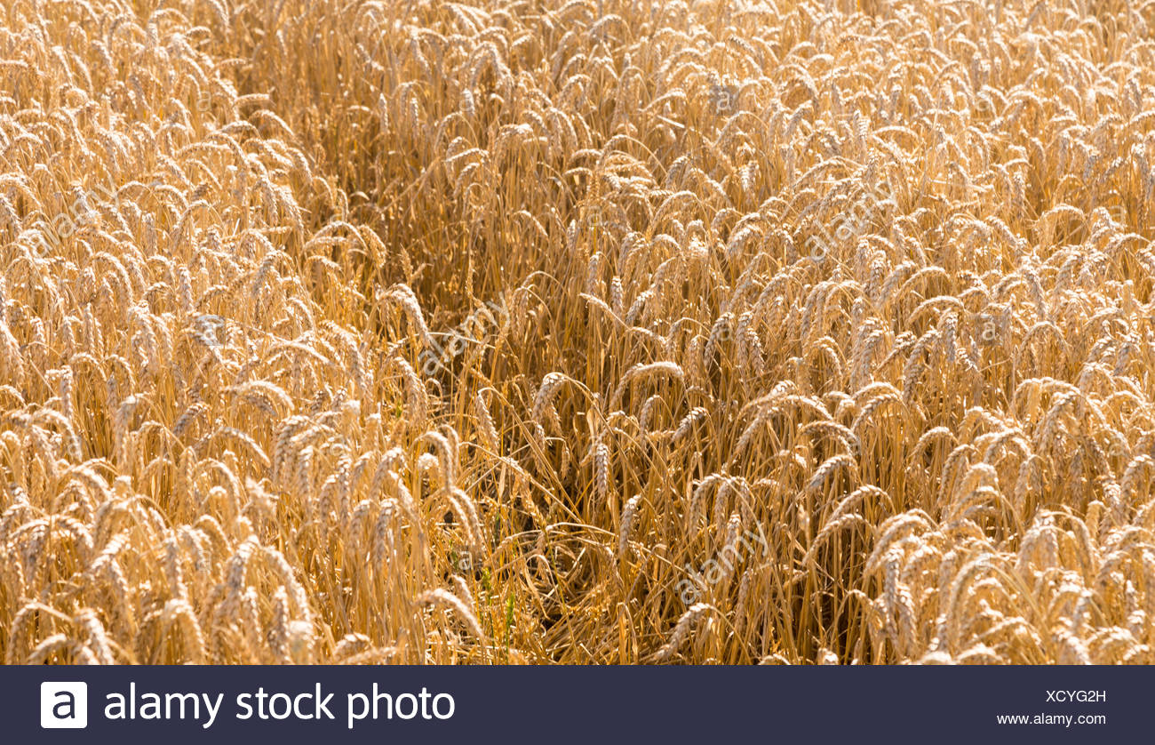 Ears of corn in fields of England - Stock Image