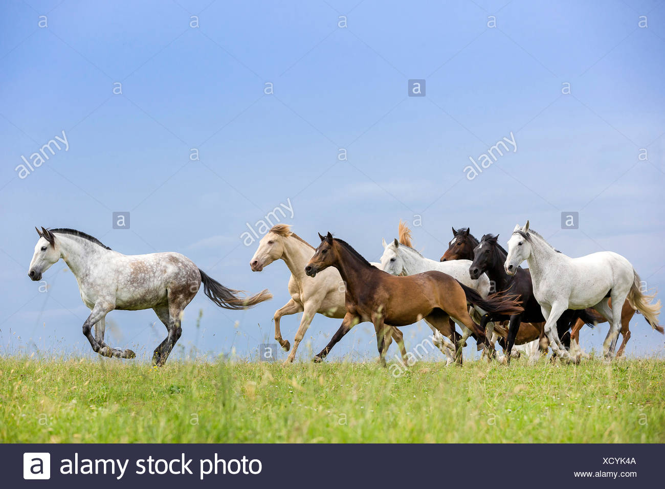 Domestic horse Mixed herd of different breeds galloping pasture Germany - Stock Image