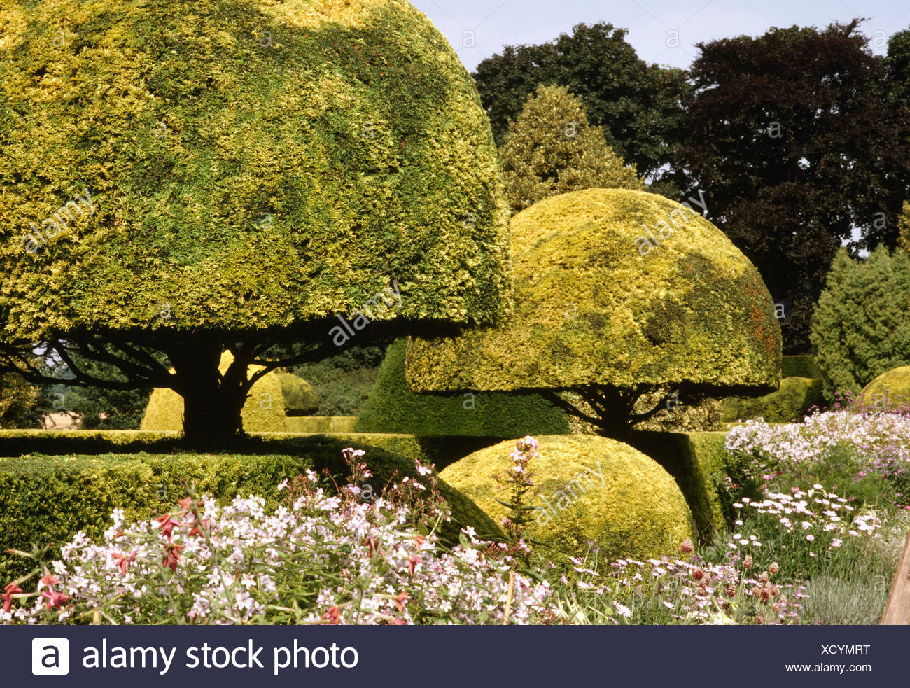 Yellow conifers clipped into a half circle in large country garden - Stock Image