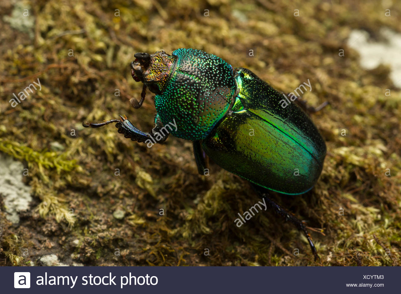 An extreme close up view of an iridescent green Christmas beetle, Anoplognathus, moving on the moss-covered forest floor in Tasmania's Wielangta State Forest. - Stock Image