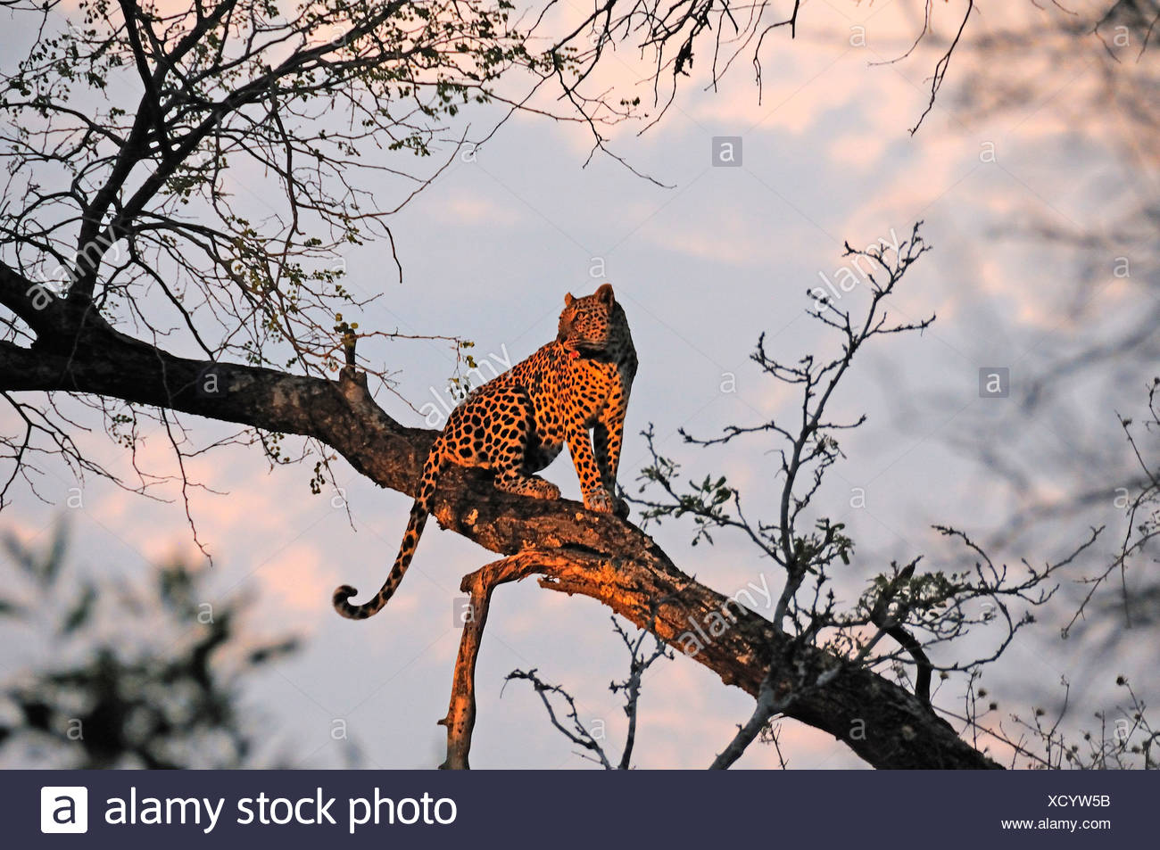 Leopard Panthera pardus Ulusaba Sir Richard Branson's Private Game Reserve Sabi Sands Game Reserve Mpumalanga South Africa tree - Stock Image