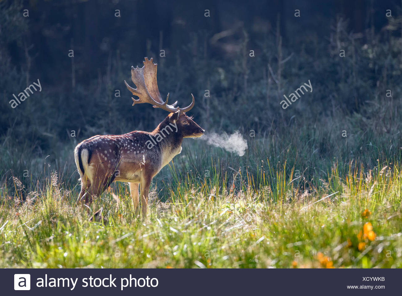 Fallow deer (Dama dama), stag in autumn, cold morning, Schaufler, Saxony, Germany - Stock Image