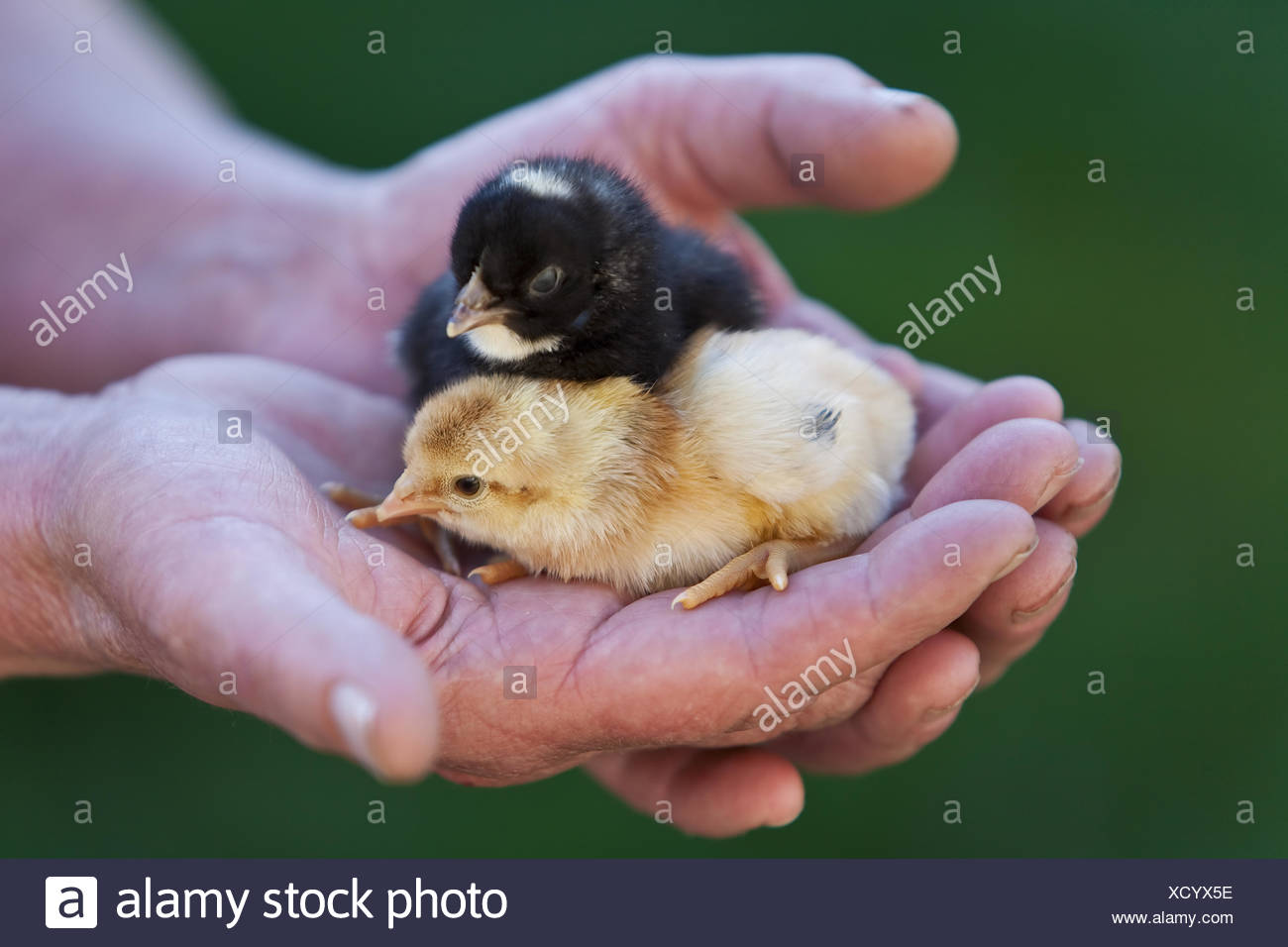 chick in  the hand of a farmer - Stock Image