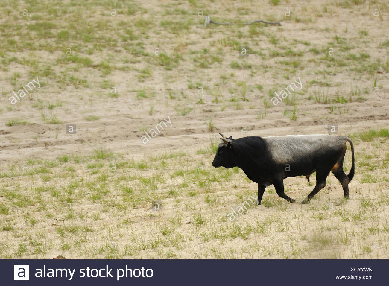 Primitive cattle breed, near relative to the auroch, Letea forest, Strictly protected nature reserve, Danube delta rewilding area, Romania - Stock Image