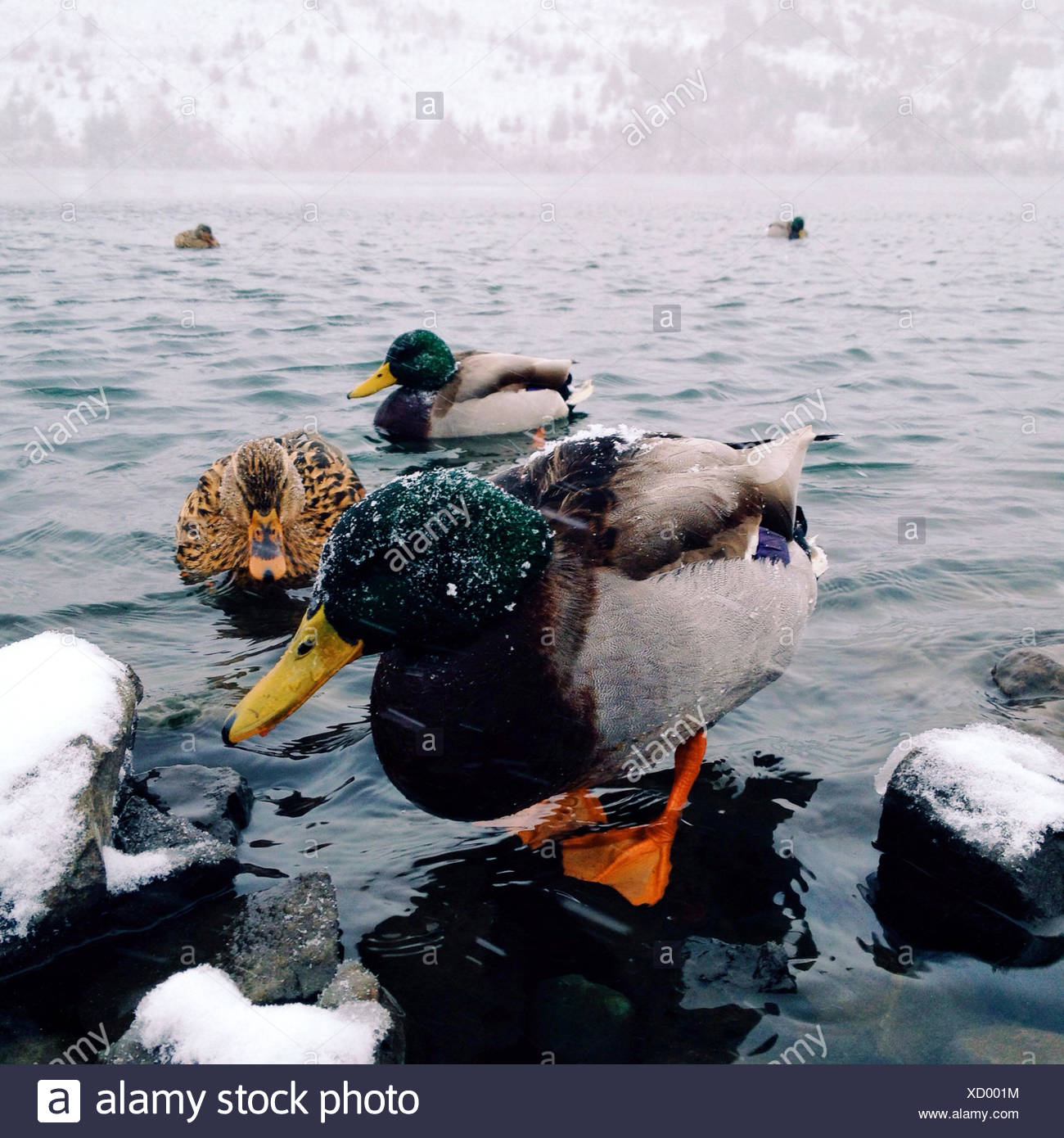 USA, Oregon, Washington County, Beaverton, ducks in winter - Stock Image