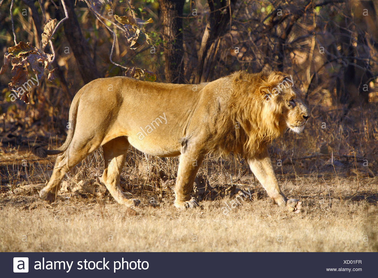 Asiatic Lion (Panthera leo persica) walking in the forest at Gir National Park Gujarat India - Stock Image