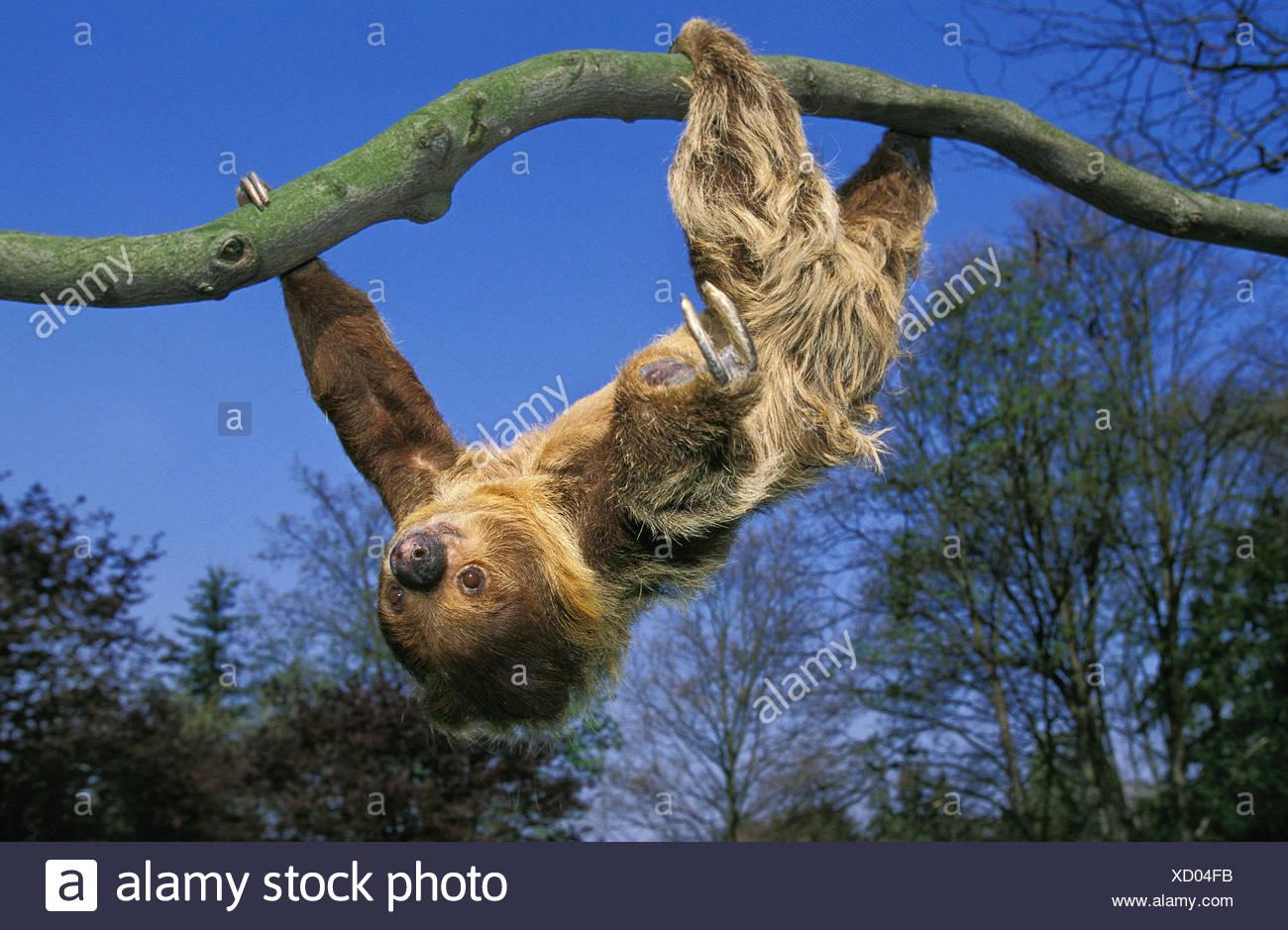 2 finger sloth,Choloepus didactylus,adult animal,hang,branch, - Stock Image