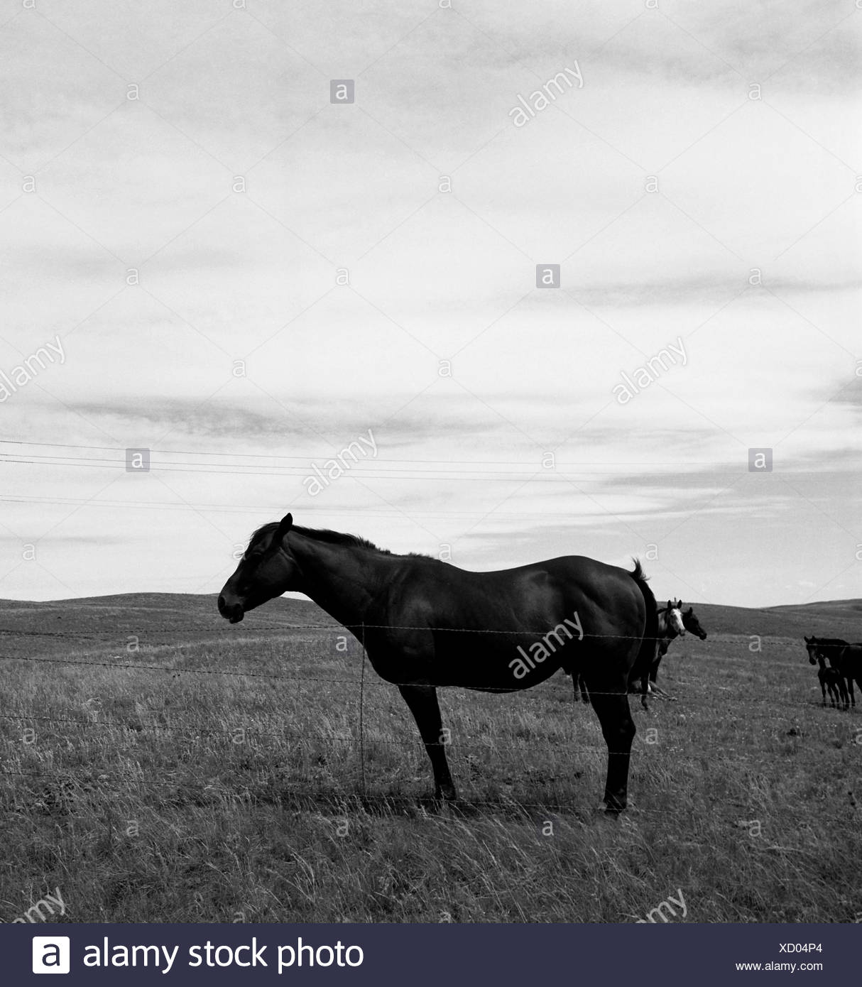 A black and white, square image of a horse standing still. - Stock Image