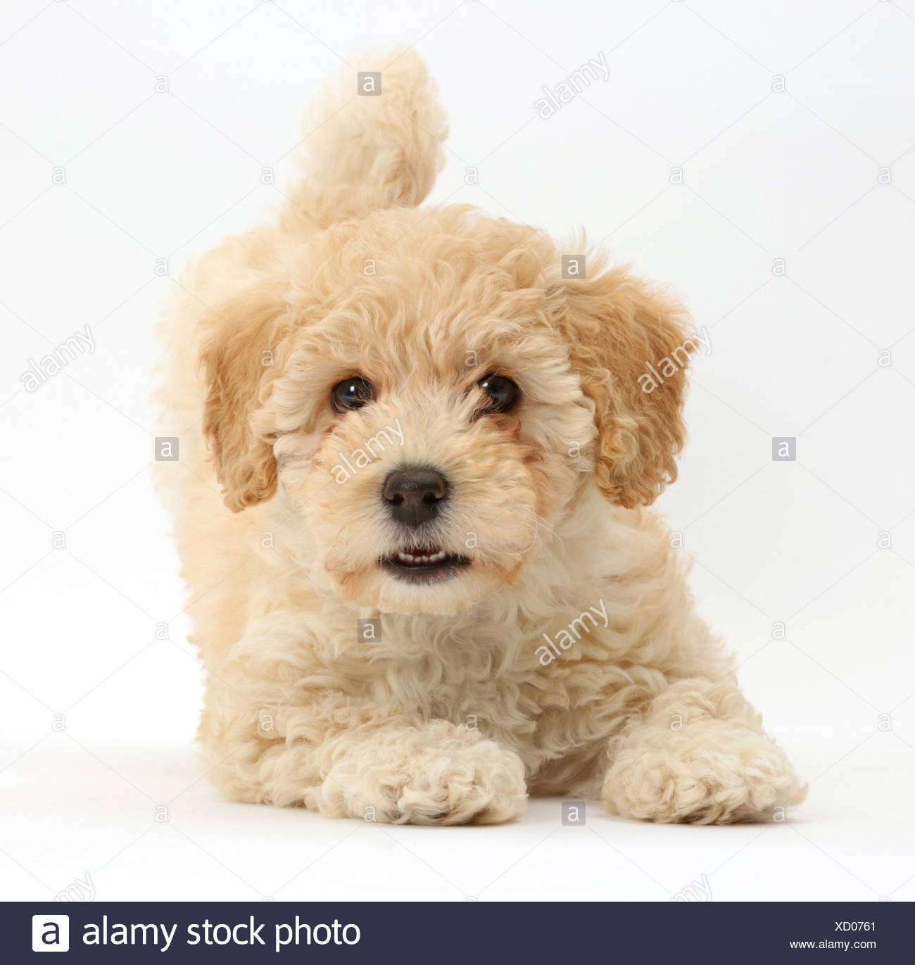 Poochon Puppy Bichon Frise Cross Poodle Age 6 Weeks Stock Photo