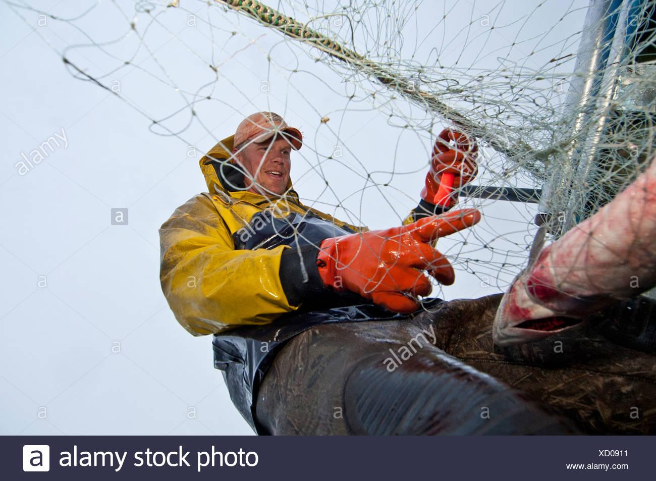 Commercial fisherman picks sockeye salmon off a gillnet at a set net site in the Naknek River, Bristol Bay, Alaska, Summer - Stock Image