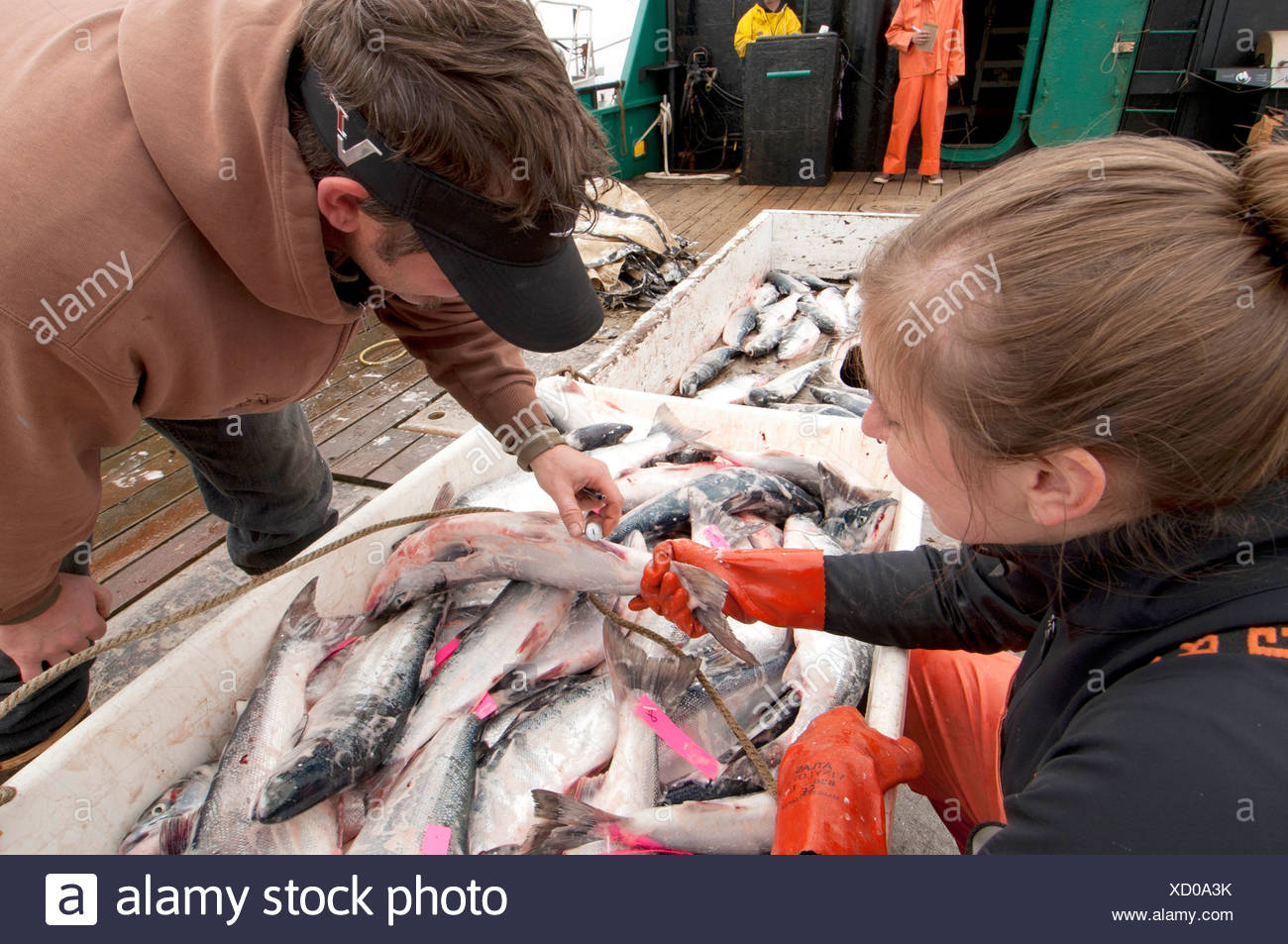 Ocean Beauty Seafoods conducts quality control on Sockeye salmon onboard a tender in Ugashik Bay, Bristol Bay, Alaska - Stock Image