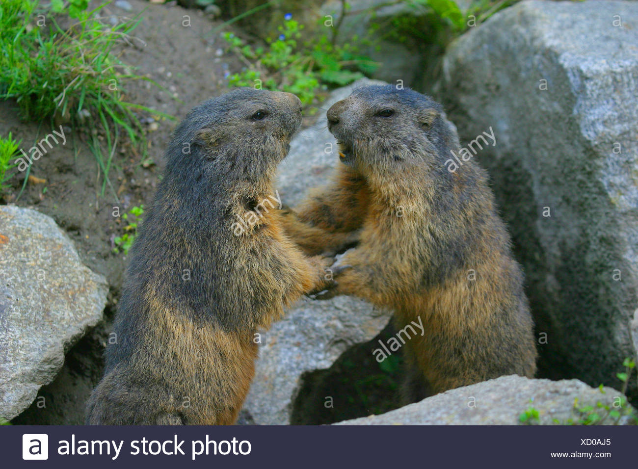 alpine marmot (Marmota marmota), two fighting marmots, Austria - Stock Image